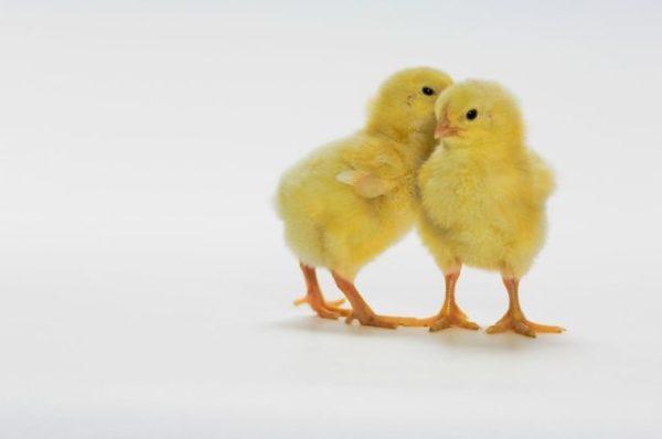 факты о цыплятах