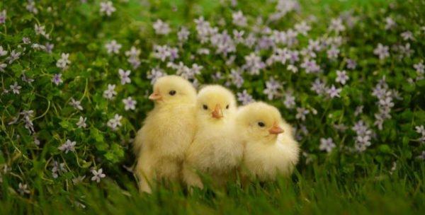 сон про цыплят