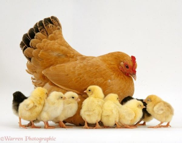 курица и цыплята