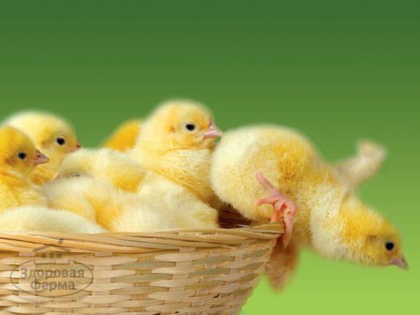 цыплята приснились