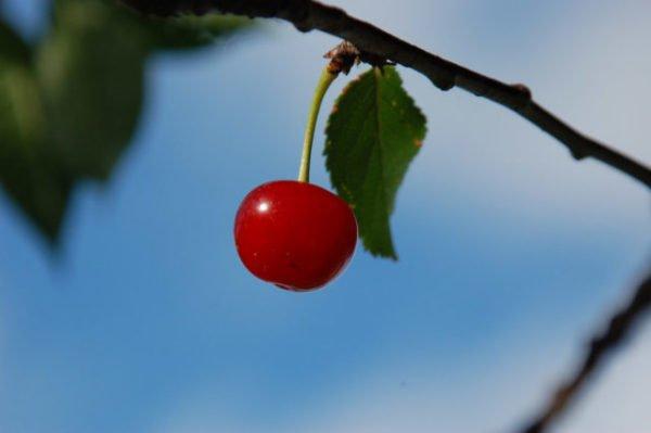 приснилась горькая вишня