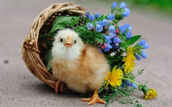 цыпленок в корзинке