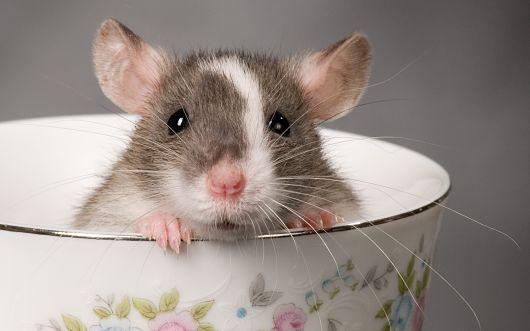 Совместимость крысы и собаки: белые и чёрные полосы в отношениях